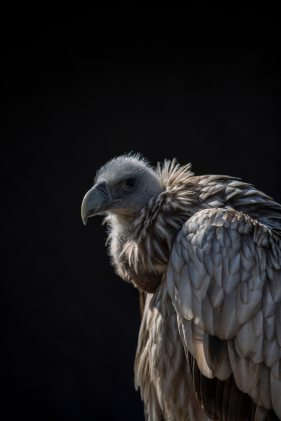 animal-avian-bald-1025586